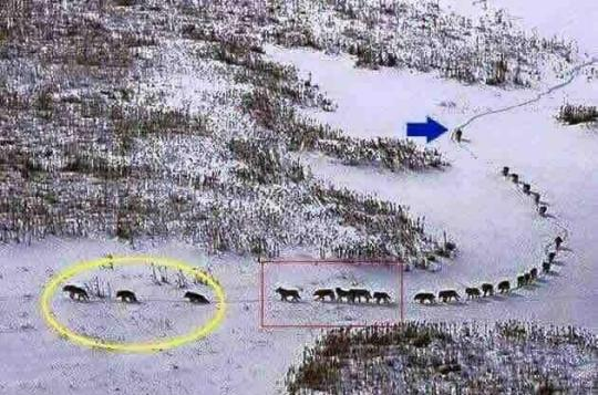 Yellowstone_Wolves_false